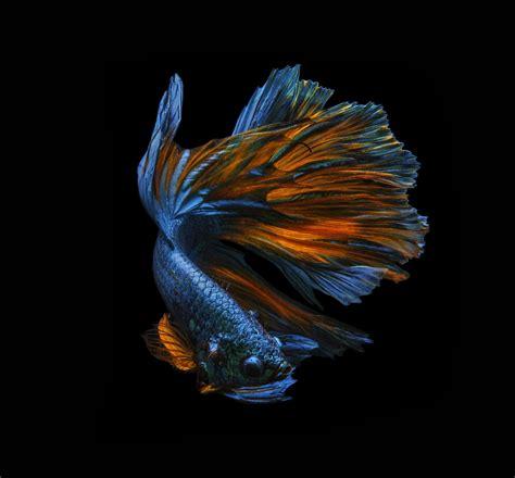 terbaru  foto wallpaper ikan cupang richa wallpaper
