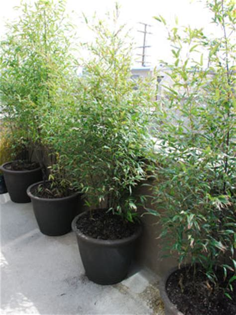 growing bamboo in containers bamboo botanicals bamboo grown in pots and containers 4105