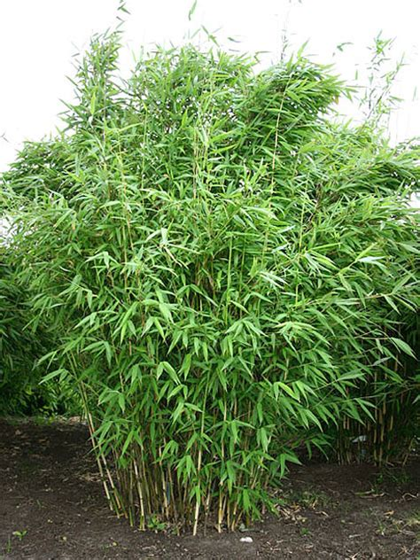 fargesia murielae kaufen bambusboerse