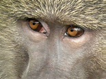 Evolution of color vision in primates - Wikipedia