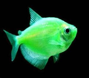 GloFish Tetra for Sale Glow Fish Tetra for Sale