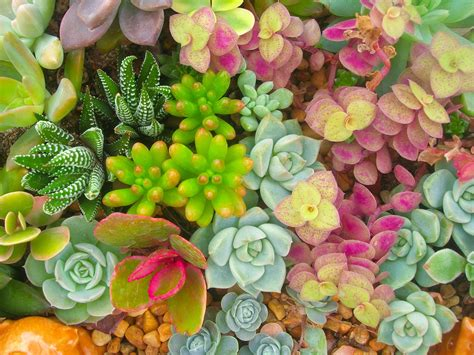 where to buy succulent why you should a succulent in your
