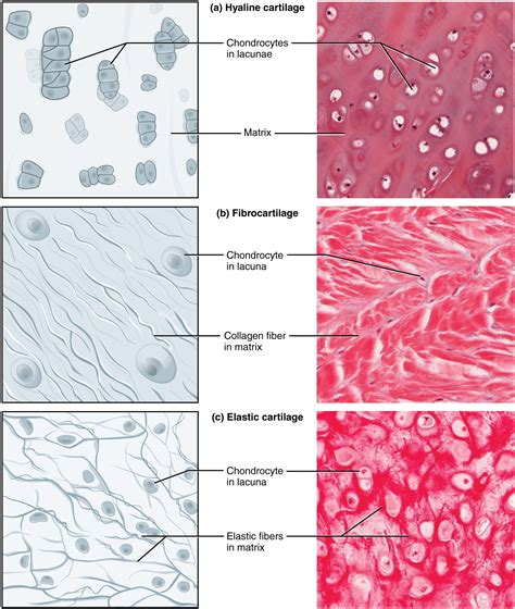 connective tissue supports  protects anatomy