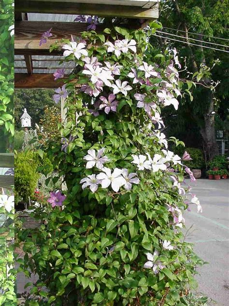 Clematis Vine Keep Roots Cool Plant Deep Good In Shade