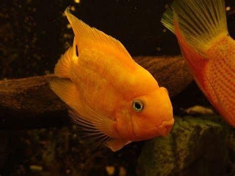 parrot fish kissing   youtube