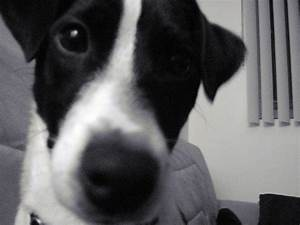 98 best images about Jack Russell Terrier Luv on Pinterest ...