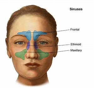 Anatomy And Physiology Of The Nose And Throat