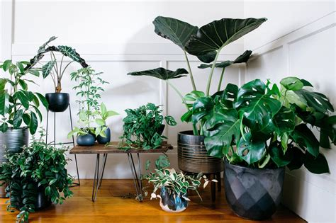 giant split leaf philodendron outdoors  creative room
