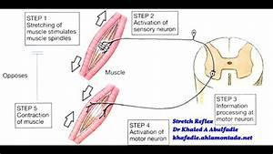 Stretch Reflex Physiology  2