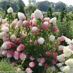 Proven Winners Zinfin Doll Hardy Hydrangea (Paniculata