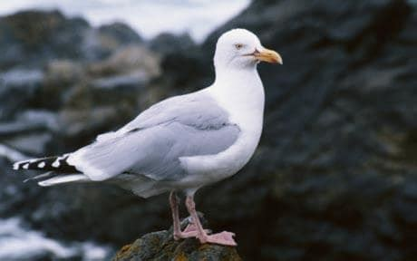 Britain's Seabirds Disappearing Says Rspb Telegraph