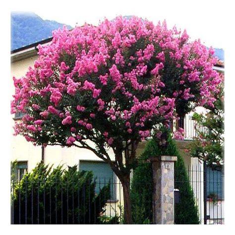 lila des indes lagerstroemia indica bio jardins