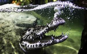 Sea Life Speyer Gutschein : 575 best crocodiles images on pinterest alligators crocodiles and crocodile ~ Watch28wear.com Haus und Dekorationen