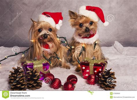 Terrier Dressed As Santa Claus Stock Photo Terrier Dogs Stock Photo Image 27839950