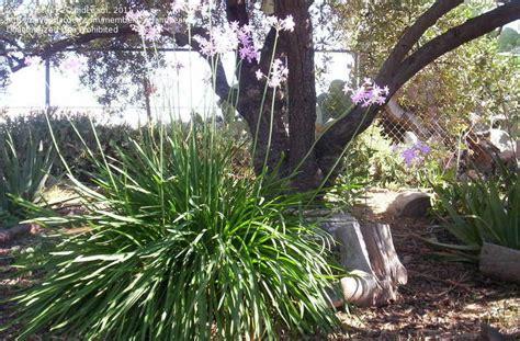 olive garden sebring florida plantfiles pictures society garlic pink agapanthus