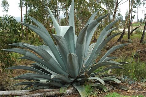 agave plant we moved from chicago to cuenca susudel saraguro tequila and cops