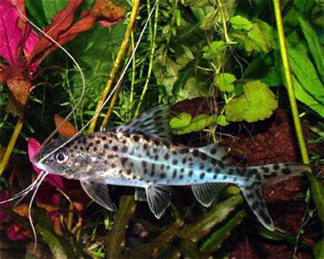 featured freshwater fish pictus catfish aquariumpros