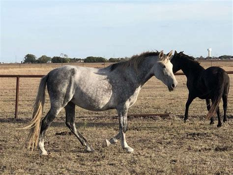andalusian horse mare equinenow