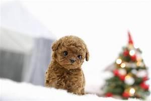Adorable Mistletoe Precious Micro Teacup Male Red Poodle ...