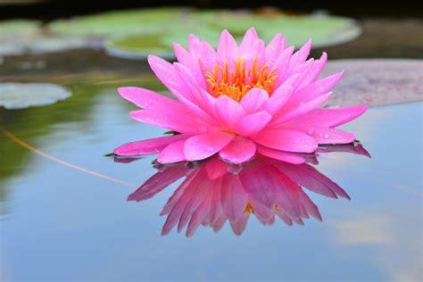 Lotus Flower Absolute (Pink) from Ahimsa Oils