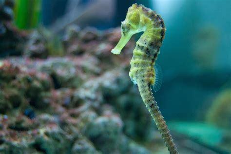 seahorses saltwater fish long coral aquariums seahorse tank