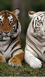 White Tiger Cubs With Blue Eyes Wallpaper   Wallpapers Gallery