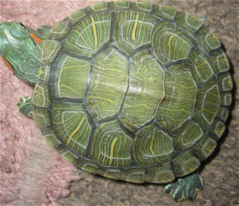 faqs about ear slider res turtle disease health 4