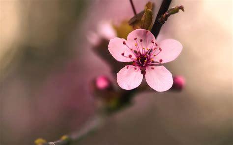 Cherry Blossom Wallpaper Anime Cherry Blossom Flower 30540 2560x1600 Px Hdwallsource Com