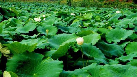 1920x1080 lotus, leaves, many 1080P Laptop Full HD ...