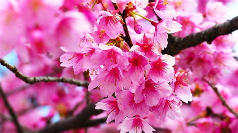pink cherry blossom wallpaper hd  cute wallpapers