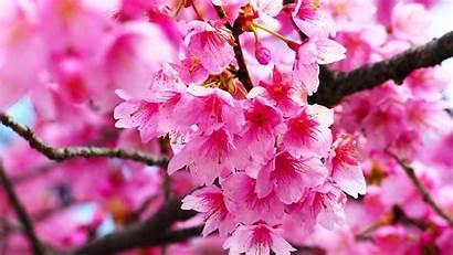 Blossom Cherry Bunga Pink Sakura Wallpapers Flowers