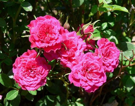 miniature roses growing a miniature rose bush outdoors hubpages