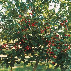 Arbres Fruitiers Nains En Pleine Terre : cerisier nain griotella frumi fruitier pour pots et ~ Premium-room.com Idées de Décoration