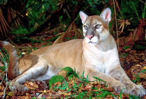 Florida Panther Found Dead Near Rsw  Wink News