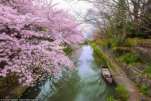 Japan, And, South, Korea, Are, Transformed, By, Blooming, Cherry
