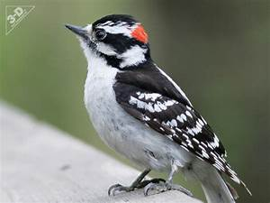 Downy Woodpecker - 3D® Pet Products3D® Pet Products