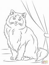 Coloring Cat Ragdoll Template Cats Colouring Templates Himalayan Rag Printable Doll Animal Kittens Shape Drawing Sitting Gatos Paper Sheets Animals sketch template