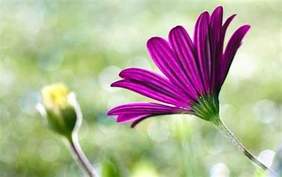 Daisy Purple Flower Nice Wallpapers Backgrounds Desktop
