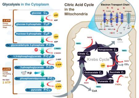 cellular respiration creationwiki  encyclopedia
