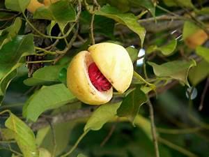 Image Gallery Nutmeg Tree