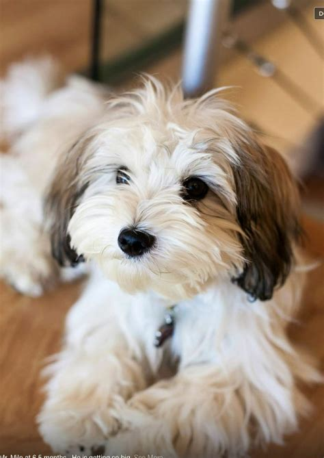 top   dog breeds  small apartment cute puppy