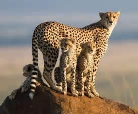 cheetah cat honey of big cat diary by vet s blunder