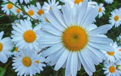 Daisy Theme Wallpapers Flowers Desktop Background Computer