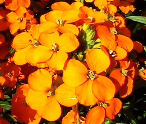 wallflower seeds cheiranthus allionii siberian seed flower perennial seedempire