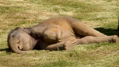 how can an elephant get mother elephant can t wake sleepy baby youtube