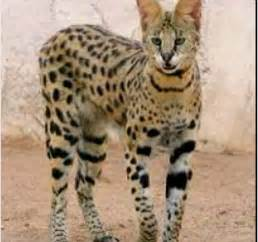 cat f1 price serval kitten price best cat information 2017