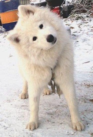 211 Best The Smiling Dog Samoyeds Images On Pinterest