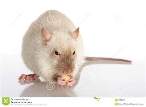 Pet Rat Royalty Free Stock Images - Image: 11789139