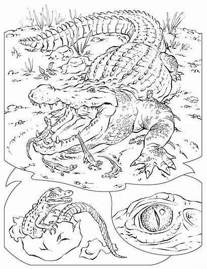 Coloring Pages Wildlife Animal Alligator Habitat Crocodile