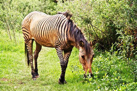 zorse zebroid zebra horse cross horses animal hybrids animals kenya zonkey between donkey nanyuki awesome zebras stallion thoroughbred hybrid safari